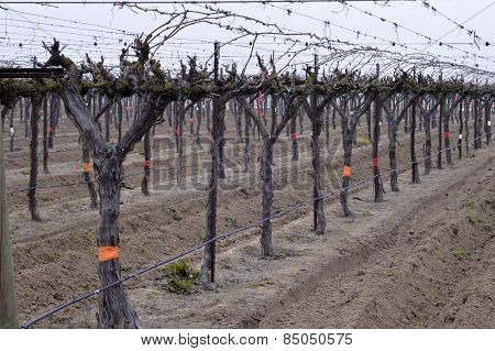 Grapes In The Winter.