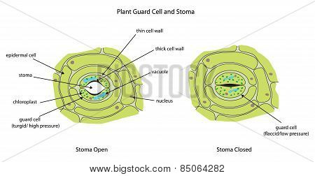 Plant Guard Cells With Stoma Fully Labeled.
