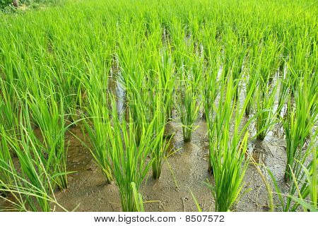 Green rice fields.