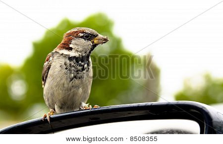 Small Sparrow Is Cadging