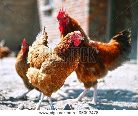 Chickens O3