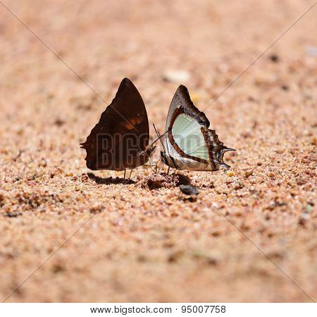 The Indian Yellow Nawab butterfly (Polyura jalysus jalysus) with Common Yeoman butterfly (Cirrochroa