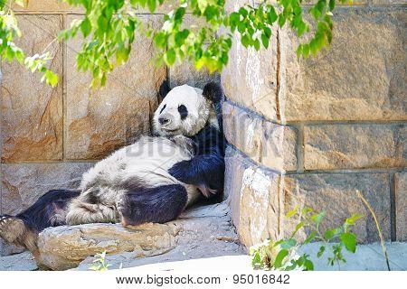Cute Sleeping Panda In Outdoor.