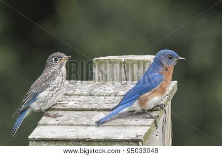 Bluebird Father and Son