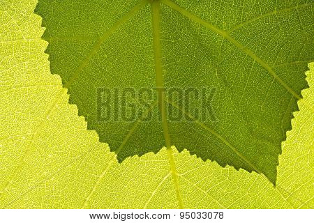 Fragment Green Grape Leaf.