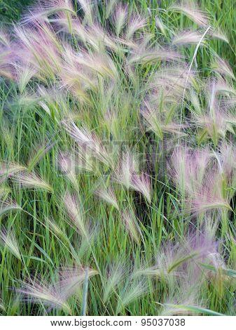 Foxtail Barely Grasshordeum Jubatum