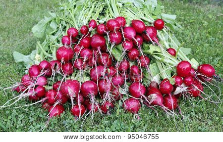 Many Fresh Red Radish With Leaves On The Grass
