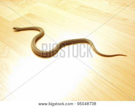 Snake on the floor