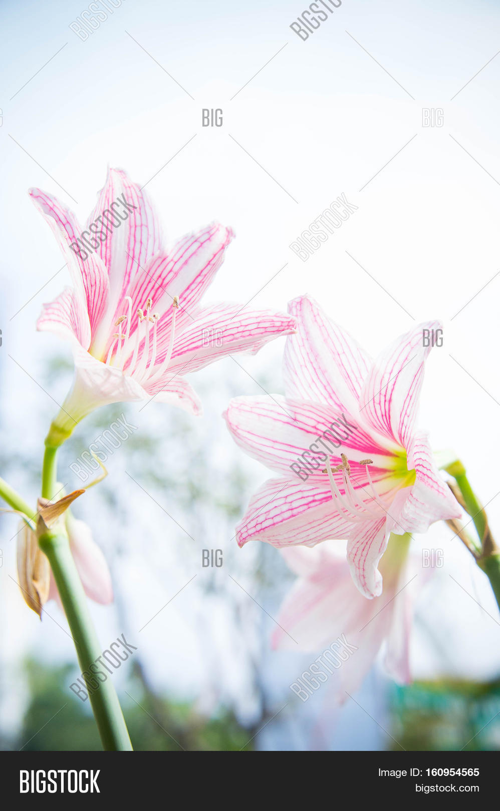 Flower hippeastrum image photo free trial bigstock flower hippeastrum looks like a lily white with pink stripes planted ornamental garden homes izmirmasajfo