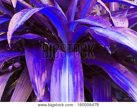 purple Dracaena goldieana tree look amazing wonder