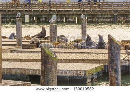 SAN FRANCISCO CA USA october 23 2016: Sea lions on Pier 39