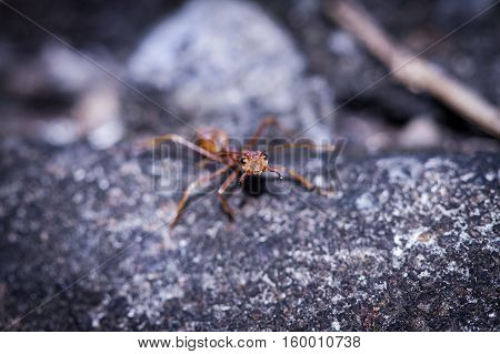 a fury ant ready fighting on the floor