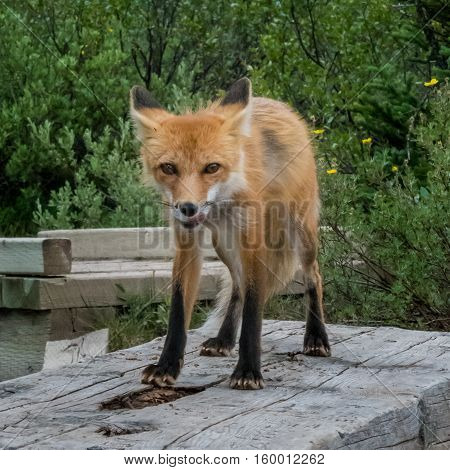 Red Fox Licks Chops While Standing on Wooden Bench