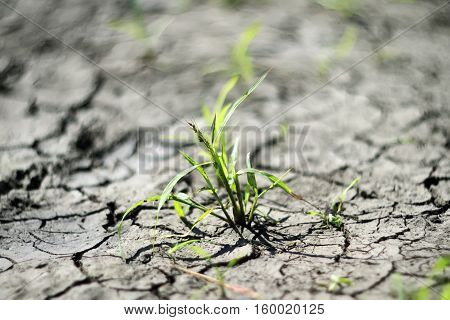 young green sprout breaks through the dry, dehydrated ground