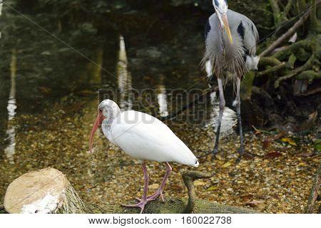 American white Ibis near a pond in Florida.