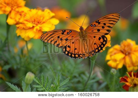 Gulf Fritillary Butterfly feeding on top of flowers