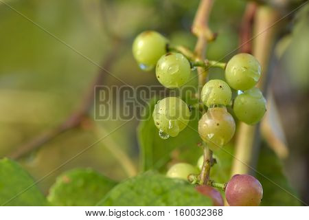 Branches of red wine grapes growing in Italian fields wet after rain