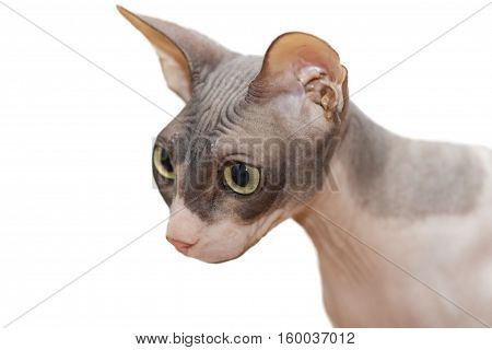cat breed Sphynx on isolated white background