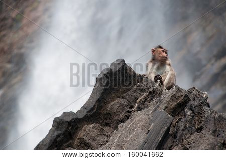 a Wild monkey at a waterfall background