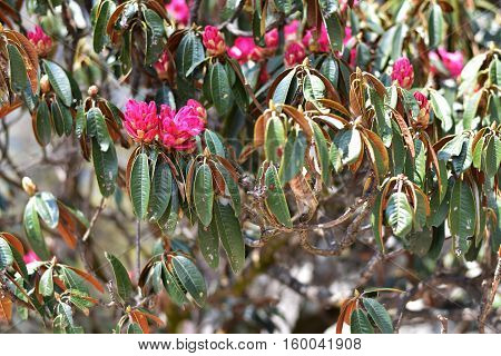 a Beautiful pink green Rhododendron tree blossoms