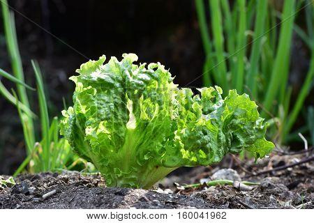 lettuce in a garden, home grown vegetables