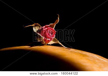 dried rosebud lit by the bright light