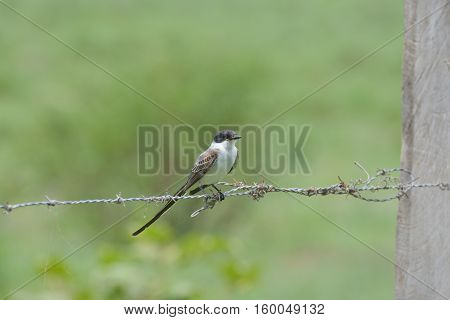 Swallow tailed flycatcher perched on a fence wire