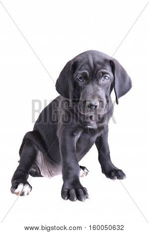 Close up of a black pup sitting down isolated on a white background