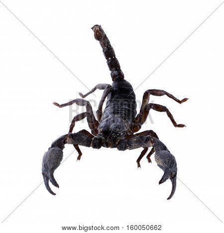 Closeup Scorpion isolated on white background. animal