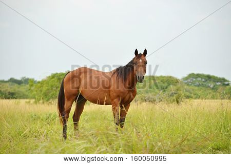 Quarter horse stallion standing in a field with tall grass