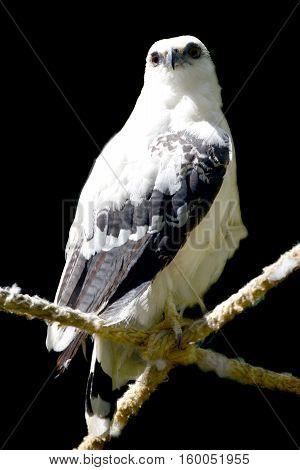 white hawk (Pseudastur albicollis) isolated on a black background