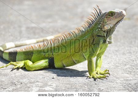 Young Iguana male laying on a driveway taking the early morning sun