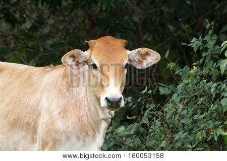 Close up of a young heifer standing on a farm field