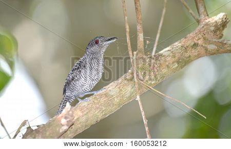 Beautiful Fasciated Antshrike male with nest material in his beak