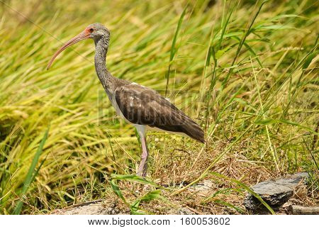 Immature White Ibis walking on a rice field looking for food