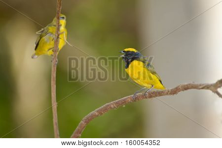 Young yellow-crowned Euphonia male and his mate perched on a tree branch