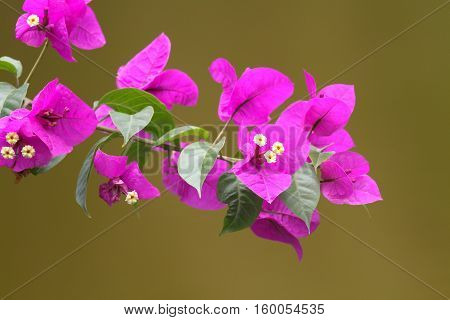 Close up of Bougainvillea flowers with a solid background