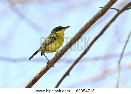 Common tody-Flycatcher perched on a tree branch with a blue sky on the background