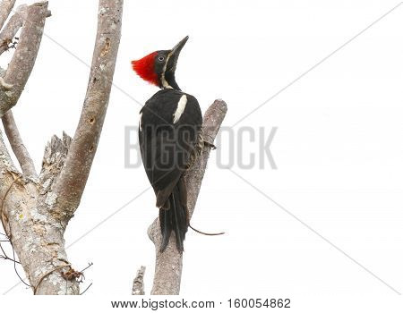 Lineated Woodpecker (Dryocopus lineatus) perched on a dead tree branch looking for insects