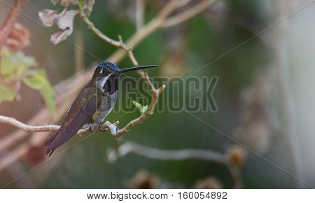 Long-billed Starthroat (Heliomaster longirostris) Humingbird perched on a tree branch