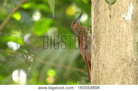 Northern Barred Woodcreeper (Dendrocolaptes sanctithomae) going up a tree trunk looking for insects