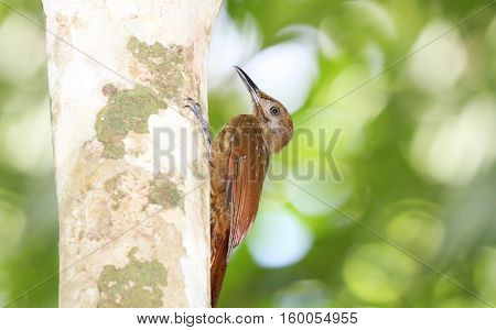 Plain-brown Woodcreeper going up a tree trunk