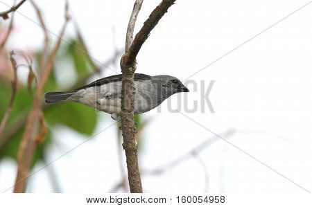 Plain-coloured Tanager perched on a tree branch