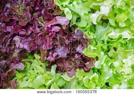 Fresh Salad leaves with Green Oak Red Leaf Lettuce