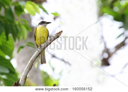 Great Kiskadee flycatcher perched on a tree branch with a blurred background