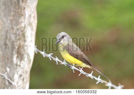 Tropical Kingbird (Tyrannus melancholicus) perched on a barbed wire fence line