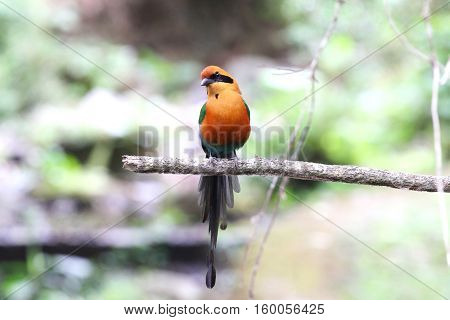 Beautiful rufous motmot (Baryphthengus martii) pwerched on a tree branch in the forests of Panama