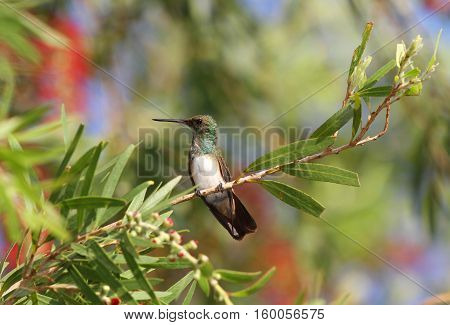 Snowy-bellied Hummingbird perched on a bottle brush tree branch with nice bokeh background