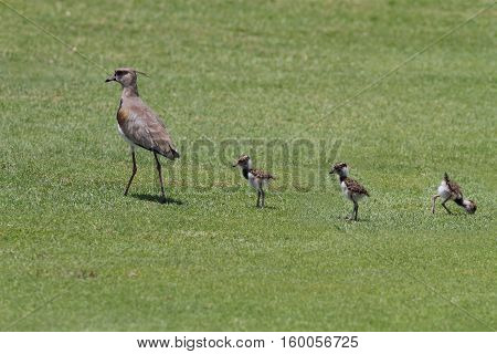 Southern Lapwing mother with three little chicks walking on grass looking for food