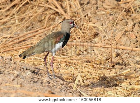 Southern Lapwing (Vanellus chilensis) on a dried grass field in the central region of Panama
